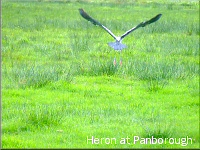 Heron takes off at Panborough